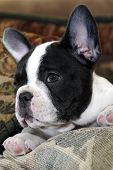 stock photo of french bulldog puppy  - A seven week old french bulldog puppy - JPG