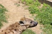 picture of hyenas  - Closeup of the head of a hyena - JPG