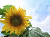 stock photo of mammoth  - A Mammoth sunflower and its leaves in the lower left foreground of image - JPG