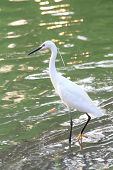 stock photo of bayou  - white egret at the lake in public park - JPG