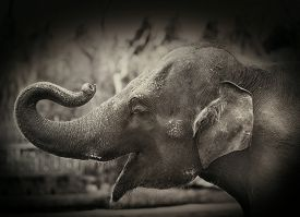 stock photo of indian elephant  - happy elephant - JPG