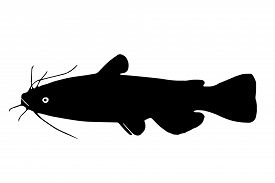 image of fighter-fish  - Silhouette Brown Bullhead freshwater fish which lives in lakes ponds and rivers - JPG