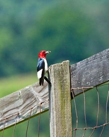 image of woodpecker  - Red-headed woodpecker with bug in Virginia, USA ** Note: Visible grain at 100%, best at smaller sizes - JPG