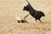 stock photo of brahma-bull  - the bull riding event at a rodeo in arizona - JPG