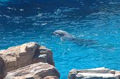 picture of grampus  - swimming dolphin in the blue turquoise waters - JPG
