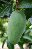 Royalty High Quality Free Stock Image Of Green Mango On Tree In The Orchard. Mango Is A Nutritious F poster