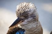 stock photo of blue winged kookaburra  - Kookaburra Dacelo novaeguineae Kingfisher from Australia with a funny look - JPG