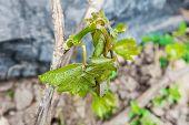 Spring Frost Damage In Vineyard poster