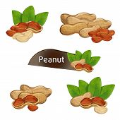 Peanut Kernel In Nutshell With Green Leaves Set Isolated On White Background Illustration. Organic F poster