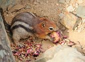 Ground Squirrel Eating A Pine Cone