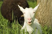 pic of feedlot  - white goat eating grass on a meadow  - JPG