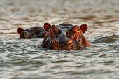 Hippopotamus - Hippopotamus Amphibius Or Hippo Is Large, Mostly Herbivorous, Semiaquatic Mammal Nati poster