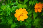 Close Up Yellow Cosmos Flowers Or Sulfur Cosmos In The Park The Middle Of The Forest And Green Natur poster