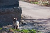 Grumpy And Unhappy Seal Point Siamese Pedigreed Cat Sitting On The Sidewalk Near A Road With Grass poster