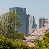 Blooming Sakura In Tokyo Park. City Park And Skyscrapers In The Background. Blooming Sakura And Mode poster