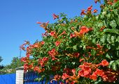 Trumpet Vine Flowers On House Fence. Campsis Radicans, Trumpet Vine Or Trumpet Creeper, Also Known A poster