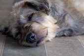 Closeup A Dog Pet Sleep Lazy Lay Down Canine Sit Concept. poster