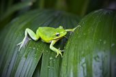 stock photo of tree frog  - Little green tree frog resting on a leaf with rain droplets on it - JPG
