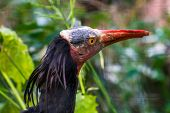 Northern Bald Ibis With Its Face In Closeup, Tropical Non Wading Bird, Endangered Animal Specie From poster