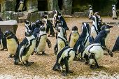 Colony Of African Penguins, Family Of Black Footed Penguins, Zoo Animals, Endangered Animal Specie poster