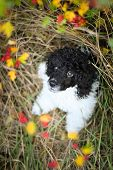 Poodle Puppy  In Nest. Black And White Puppy Looks Like Sheep. He Is Sitting In Grass Nest. He Is So poster