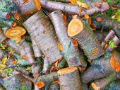 Freshly Cut Tree Logs. Cut Pine Logs. Close-up. Firewood For The Winter. Bouquet Of Many Fresh Logs. poster