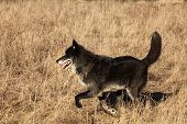 A North American Wolf (canis Lupus) Running In The Dry Grass In Front Of The Forest. Calm, Black And poster