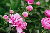 Pink Peonies In The Garden. Blooming Pink Peony. Closeup Of Beautiful Pink Peonie Flower. poster