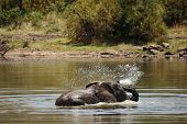 African Bush Elephant (loxodonta Africana) Drinking, Swimming And Splashing Water. Elephant In Water poster