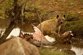 The Spotted Hyena (crocuta Crocuta) (laughing Hyena) After Hunt. Spotted Hyena Eating The Wildebeest poster