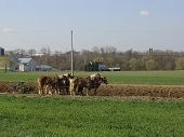 Amish Plow Pferde
