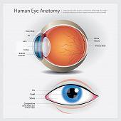 Human Eye Anatomy With Human Eye Vector Illustration poster