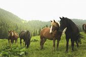 Group Of Young Horses On The Pasture Next To The Moumtains poster