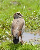 Close up of an Egyptian goose (Alopochen aegyptiaca  poster