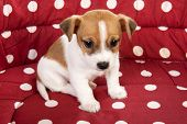 image of spotted dog  - Red spotted pet bed with little Jack Russel puppy - JPG