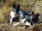 image of laika  - Two hunting laikas resting on yellow grass - JPG