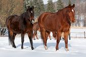 stock photo of shire horse  - Herd of standing horses in the winter - JPG