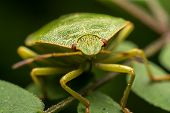 picture of minstrel  - Macro Photo Of A Green Shield Bug Sucking Sap From A Plant - JPG