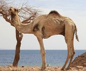 Dromedary Camel in Desert beside Red Sea