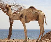picture of dromedaries  - Dromedary Camel in Desert beside Red Sea - JPG