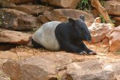 image of tapir  - Malayan tapir animal emotions are resting comfortably - JPG