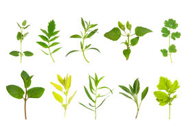 pic of feverfew  - Herb leaf selection of spearmint golden marjoram tarragon sage feverfew catmint valerian hyssop bergamot coriander in two horizontal lines from bottom and top left - JPG