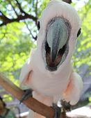 stock photo of cockatoos  - Cockatoo pink color bird will smile and say - JPG