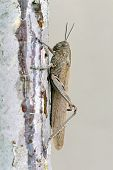 stock photo of locusts  - Close up side view of a large adult locust or grasshopper on a rough surface of a wall against a pale grey background - JPG