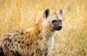 stock photo of hyenas  - Spotted Hyena in a savannah - JPG