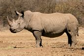 A black (hooked-lipped) rhinoceros (Diceros bicornis), South Africa