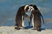 Pair of African penguins (Spheniscus demersus), Western Cape, South Africa