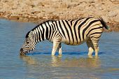 Plains (Burchells) Zebra (Equus burchelli) drinking water, Etosha National Park, Namibia