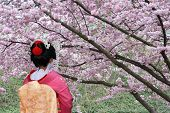 stock photo of japan girl  - Geisha and blooming Sakura tree, Tokyo, Japan