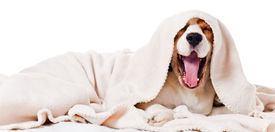 picture of adversity humor  - yawning dog under a blanket isolated on white - JPG